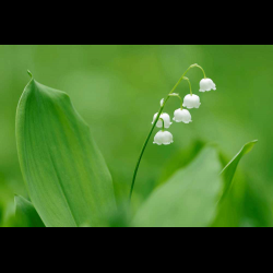 1283108 Lily of the Valley