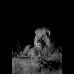 1297380 Panthera leo