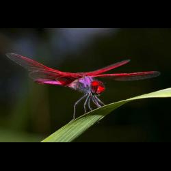 1284686 Crimson marsh glider Trithemis