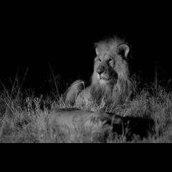 1297379 Panthera leo