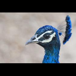 1274663 Blauer Pfau Pavo cristatus)