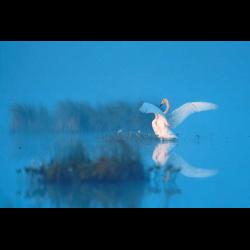 7187 Whooper Swan / Singschwan