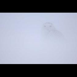 214338 Schnee-Eule