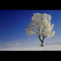 275208 Birke (Betula alba) mit Raureif