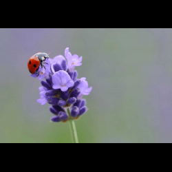1283110 Seven-spotted ladybird on lavender