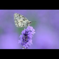 1283113 Marbled White on flower