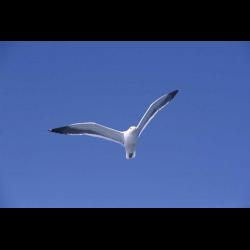 433887 Seagull