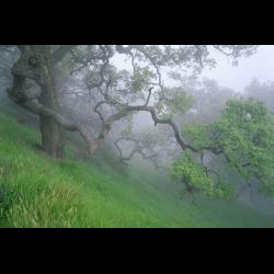 353562 Eichen im Nebel