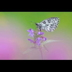1283111 Marbled White on flower