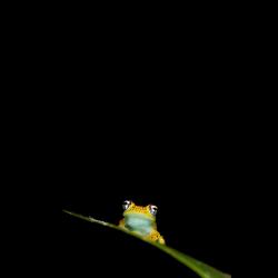 324742 Madagaskarfrosch