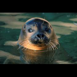 44429 Harbour Seal / Seehund