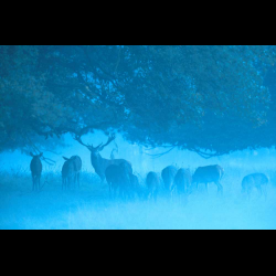 2386 Red Deer / Rothirsch