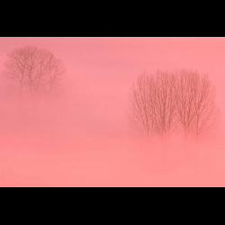 24066 Trees in morning fog / Baeume im Morgennebel