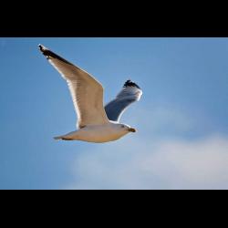 425790 Germany Helgoland herring gull