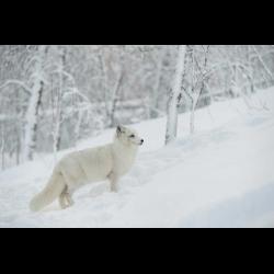 868333 Norway Bardu polar fox