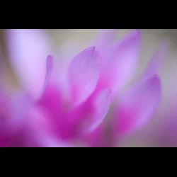 1292093 Petals of pink flower