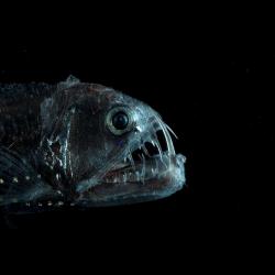 313129 Viperfish / Viperfisch