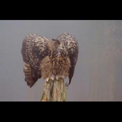 66504 Eagle Owl / Europaeischer Uhu