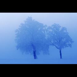 322032 Stieleiche Quercus robur) im
