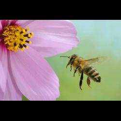 173847 Honigbiene