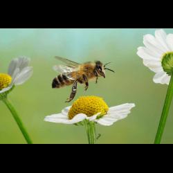 173846 Honigbiene