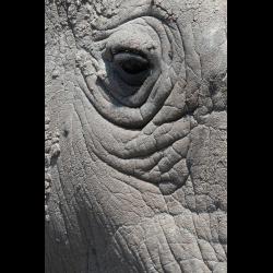 1297421 Ceratotherium simum cottoni