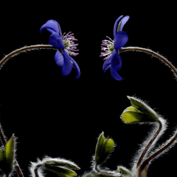 470377 Austria Two liverwort flower