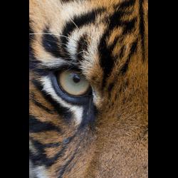 1247740 Panthera tigris sumatrae